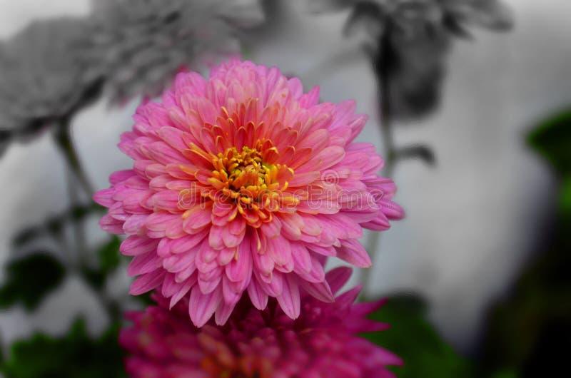 Имя Guldaudi хризантемы индийское стоковое фото rf