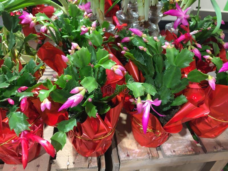 Индивидуальные баки кактуса рождества стоковое изображение rf