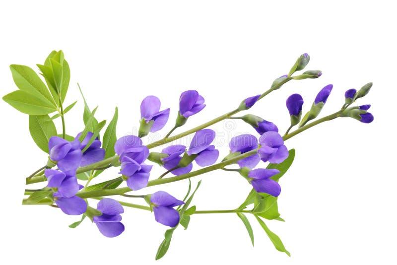 индиго baptisia ложное стоковое изображение