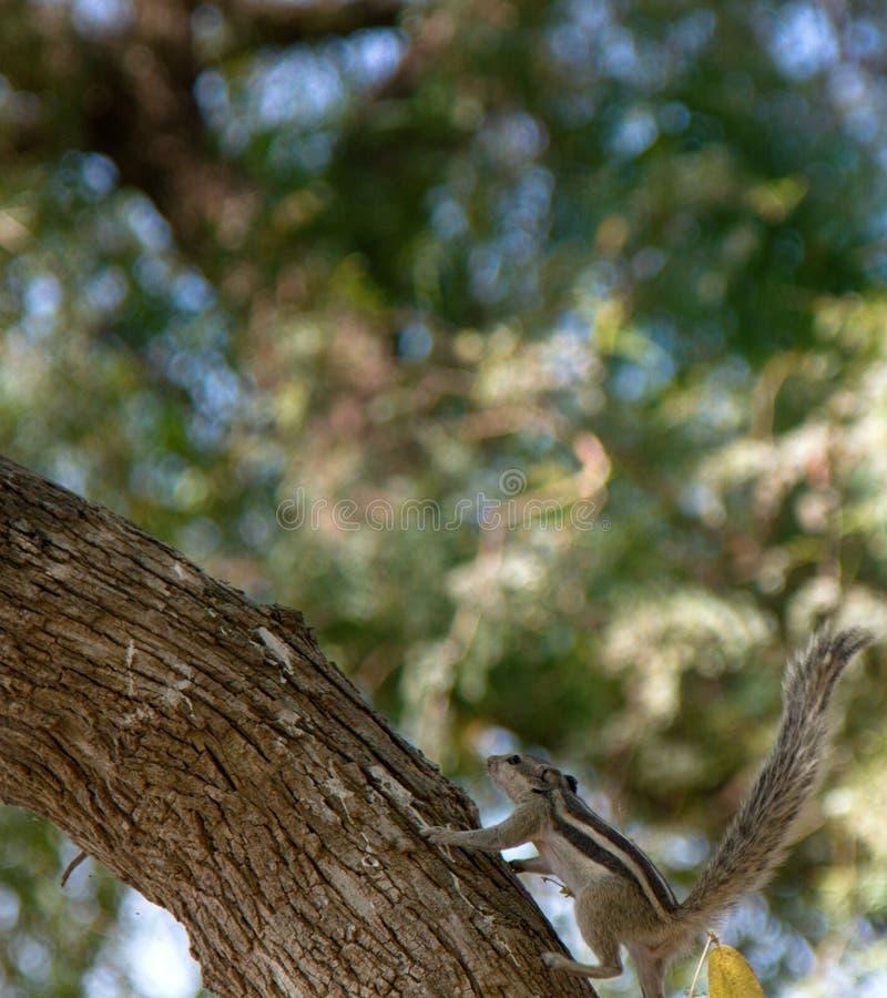 индийская белка ладони стоковая фотография rf