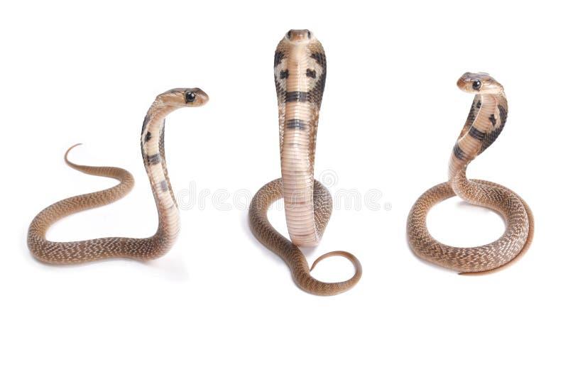 Индийская кобра, кобра кобры стоковое изображение