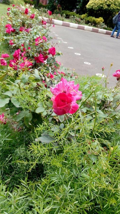 Индийская красная роза цветка стоковая фотография rf