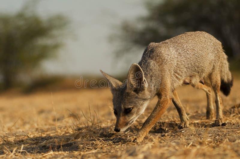 Индийская лиса стоковое фото rf