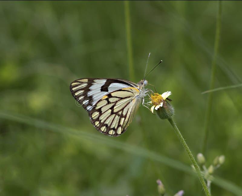 Индийская пионерская бабочка на цветке стоковое фото rf
