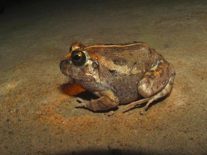 Индийская роя лягушка, breviceps Sphaerotheca Заповедник Sharavathi, Karnataka, Индия стоковое фото rf