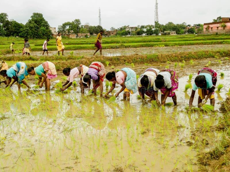 Индийская трава риса завода женщины деревни стоковое фото rf