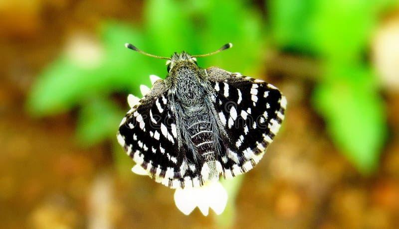 Индийские бабочка шкипера или galba spialia стоковые фото