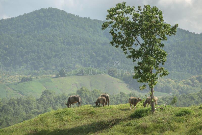 Индийские буйволы пася в зеленом солнечном поле и вытаращить назад дальше стоковая фотография