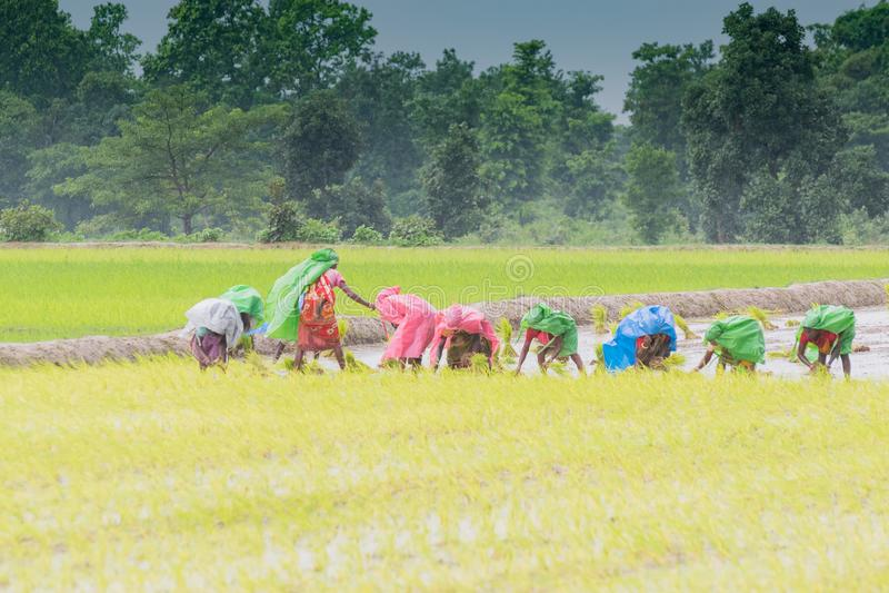 Индийские сельские женщины обрабатывая землю пади стоковая фотография rf