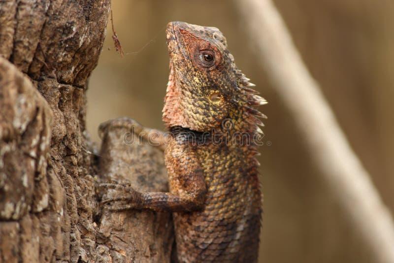 Индийские фотоснимки ящерицы стоковая фотография rf