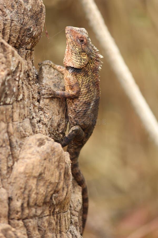 Индийские фотоснимки ящериц стоковое изображение