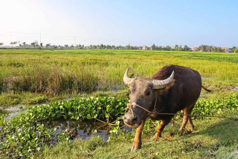 Индийский буйвол выдвигаясь к фотографу в поле риса в Вьетнаме стоковое изображение