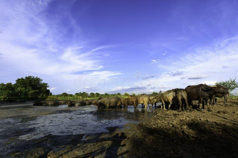 Индийский буйвол в грязи стоковые фото