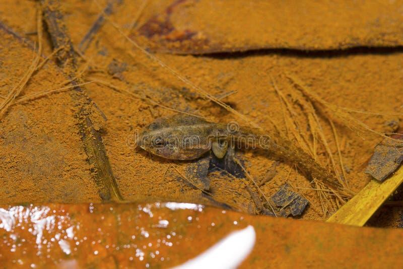 Индийский головастик лягушки шкипера, Skittering лягушка, cyanophlyctis Euphlyctis Pondicherry, Tamil Nadu, Индия стоковые изображения