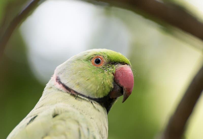 Индийский Кольц-necked портрет конца-вверх длиннохвостого попугая стоковое изображение