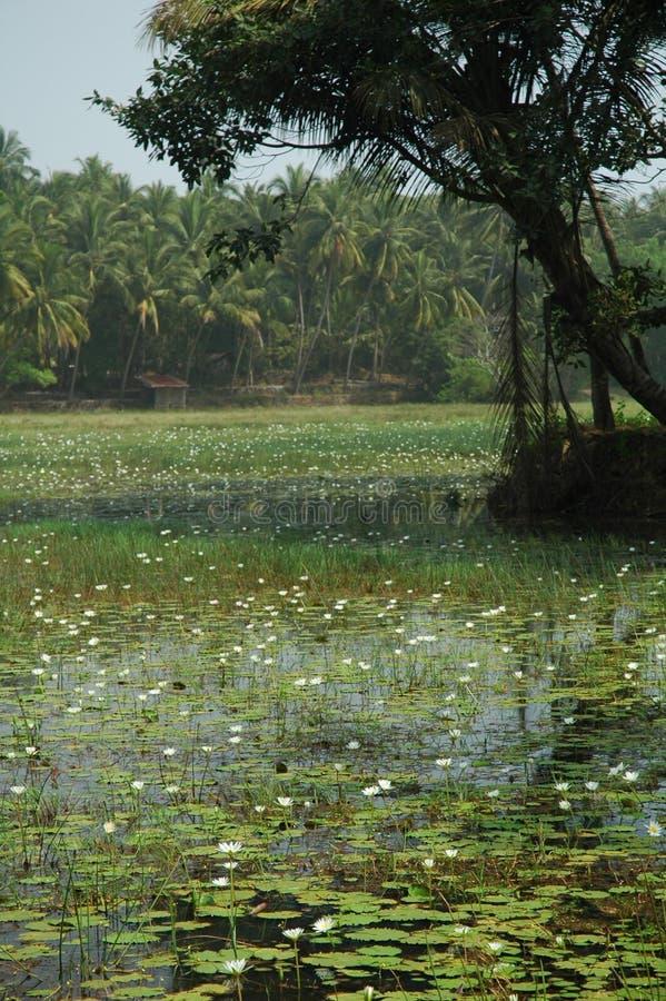 индийский лотос стоковая фотография