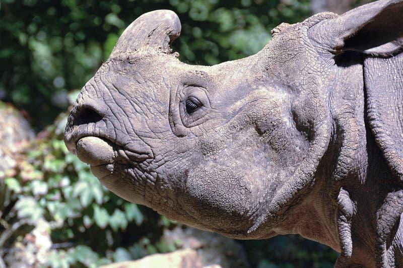 индийский носорог стоковое изображение