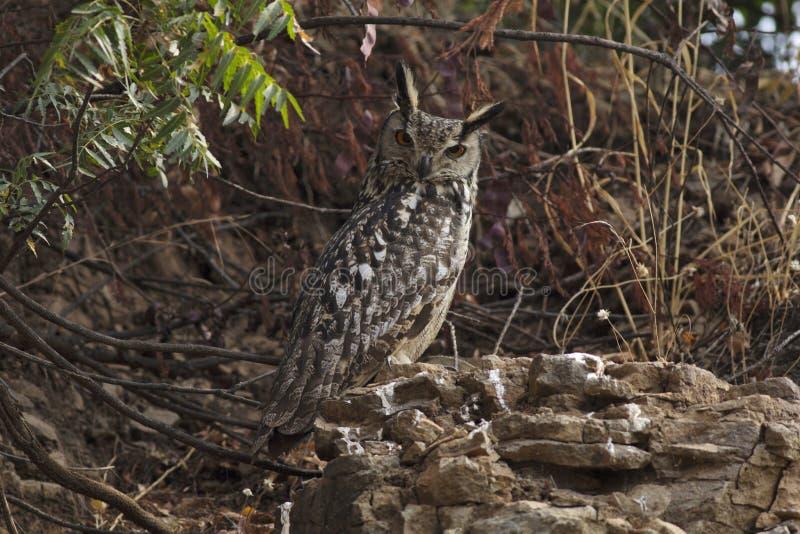 Индийский сыч орла, Solapur, махарастра, Индия стоковые фотографии rf