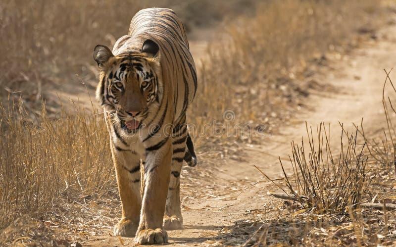 Индийский тигр идя в лес стоковое фото