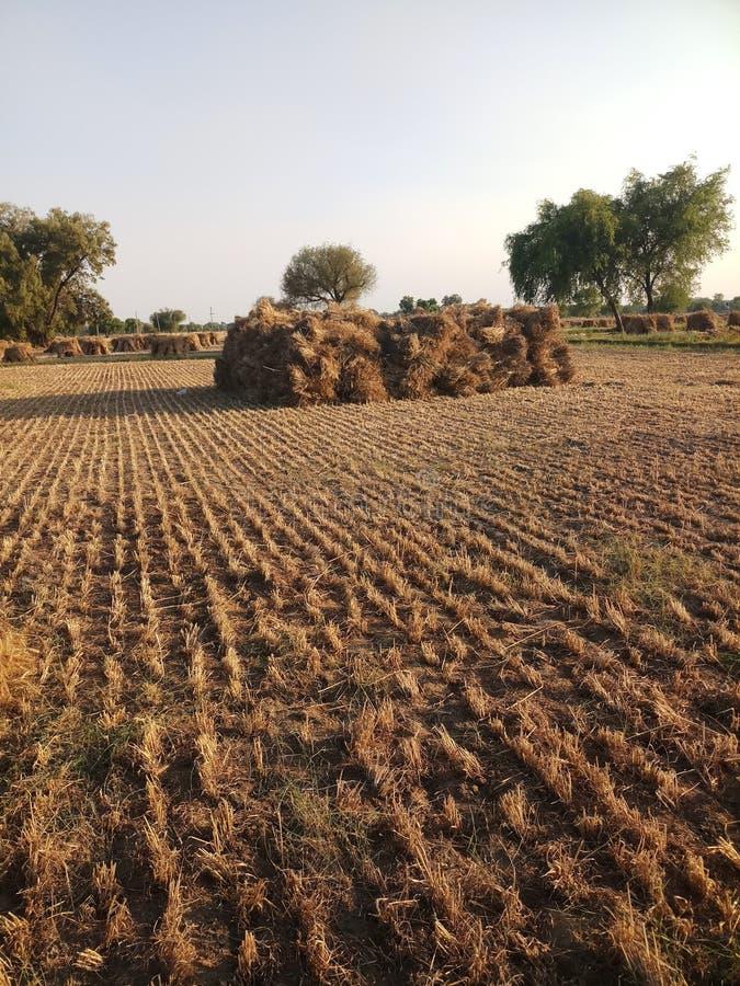 Индийский урожай жать поле стоковые фотографии rf