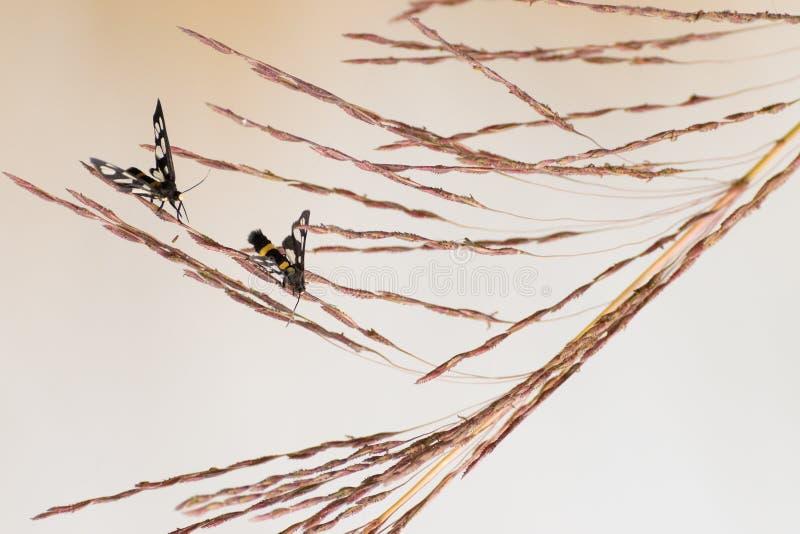 Индийский lovemaking бабочек шкипера, яркая предпосылка стоковая фотография rf