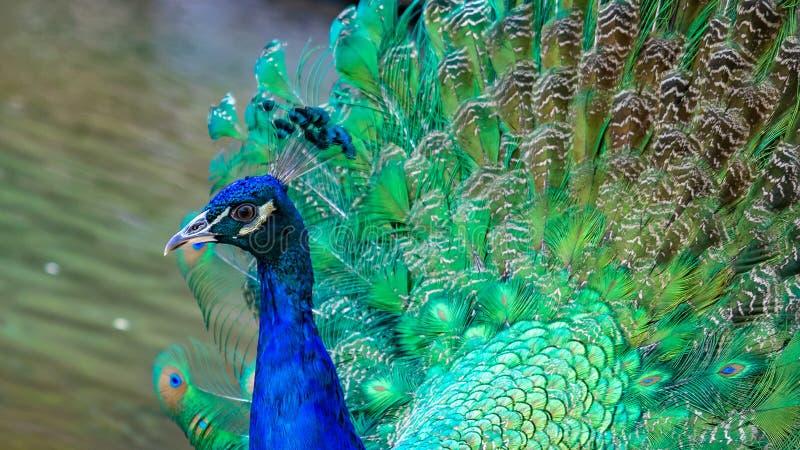 Индийское животное живой природы павлина павлина стоковая фотография rf