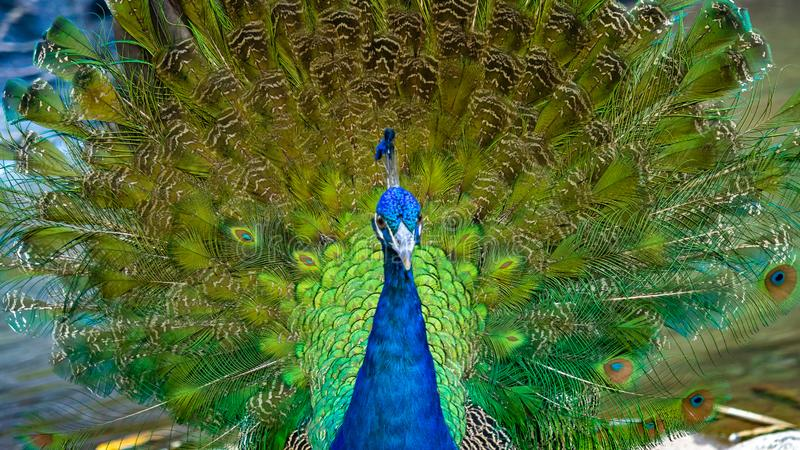 Индийское животное живой природы павлина павлина стоковое изображение rf