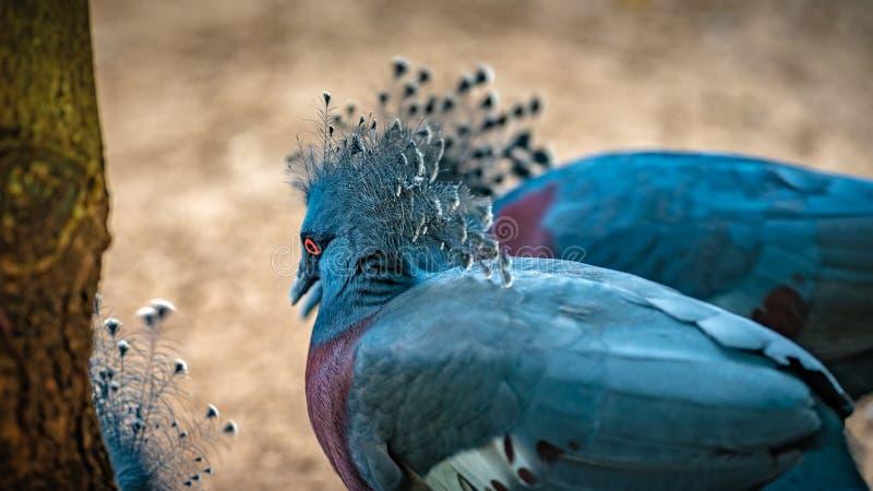 Индийское животное живой природы павлина павлина стоковые изображения rf