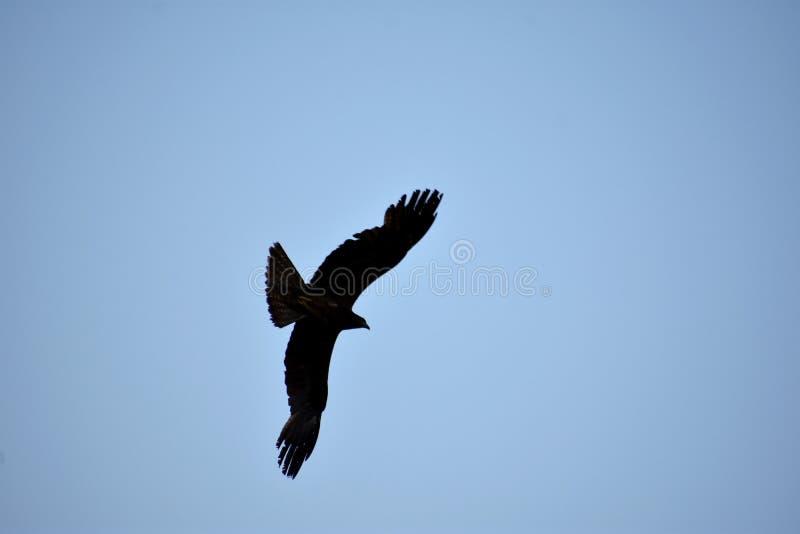 Индийское черное летание змея парии в небе стоковая фотография rf