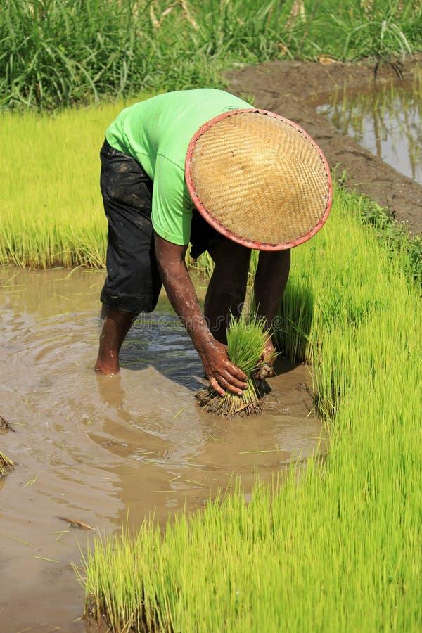 Индонезийский рис фермеров засаживая деятельность стоковые фотографии rf