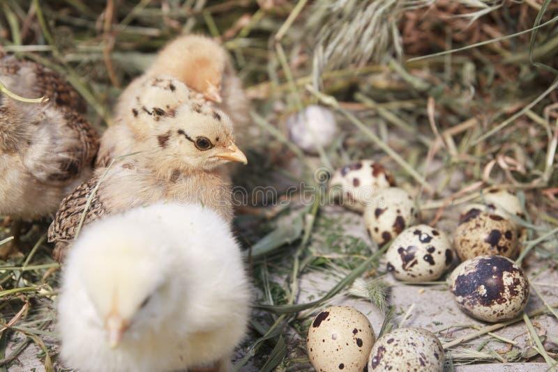 индюк цыпленоков стоковые фотографии rf