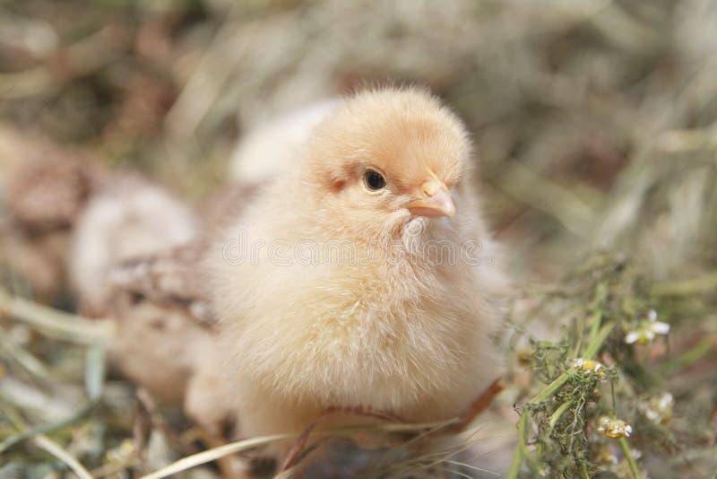 индюк цыпленоков стоковое фото