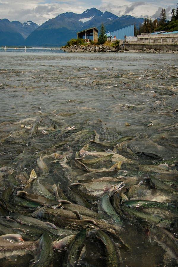 Инкубатор в Вальдес в Аляске в сезоне побежали семгами, который стоковые фотографии rf