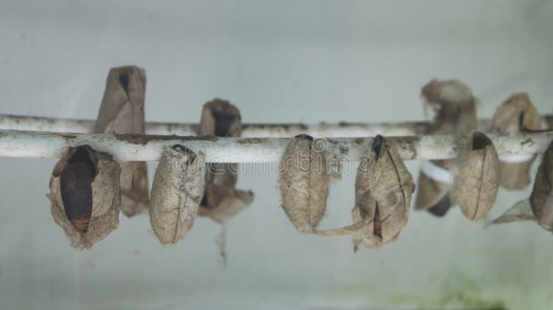 Инкубатор для насиживать бабочек стоковое изображение rf