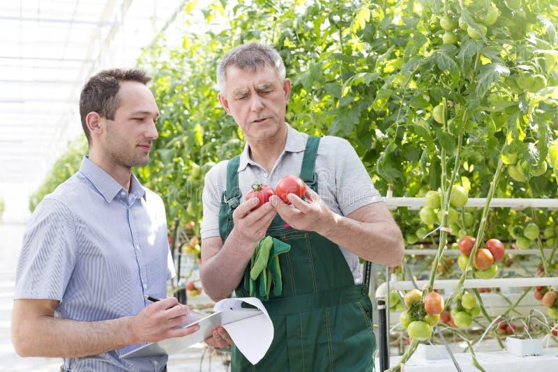 Инспектор с томатами доски сзажимом для бумаги и старшего фермера рассматривая в парнике стоковое изображение