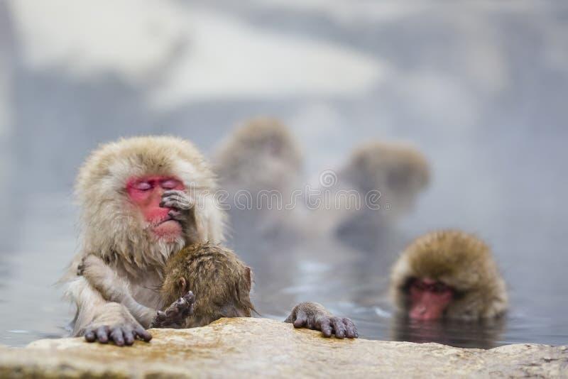 Инстинкт: Одичалая практика холить обезьяны снега младенца стоковая фотография rf