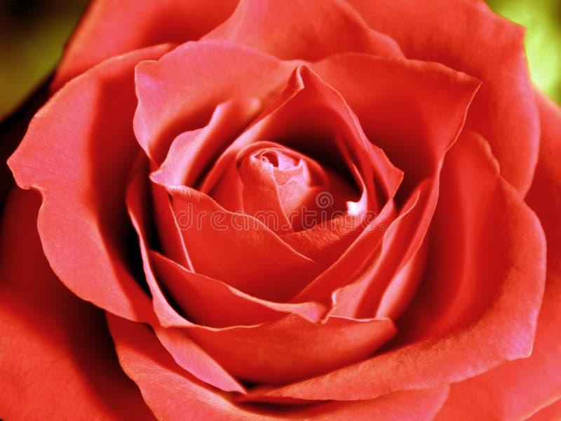 Download интенсивнейший красный цвет поднял Стоковое Фото - изображение насчитывающей сердечник, цвет: 83216