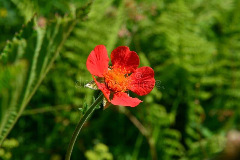 Интенсивный красный цветок на зеленой предпосылке стоковое изображение
