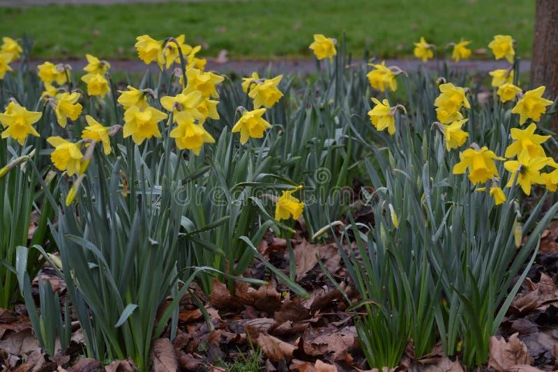 Интерес daffodil весны стоковая фотография rf