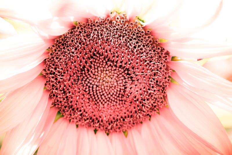 Инфра солнцецвет стоковое изображение rf
