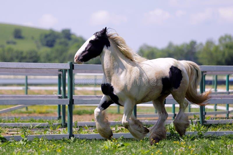 Индийская лошадь стоковое фото