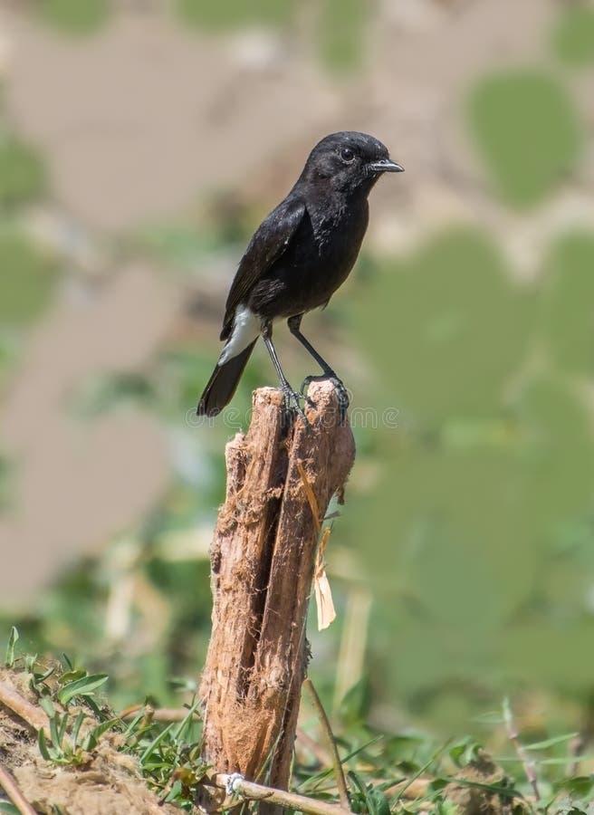 Индийская пестрая птица мужчины Bushchat стоковое изображение