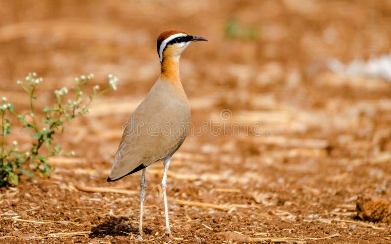 Индийская птица courser стоковое изображение rf