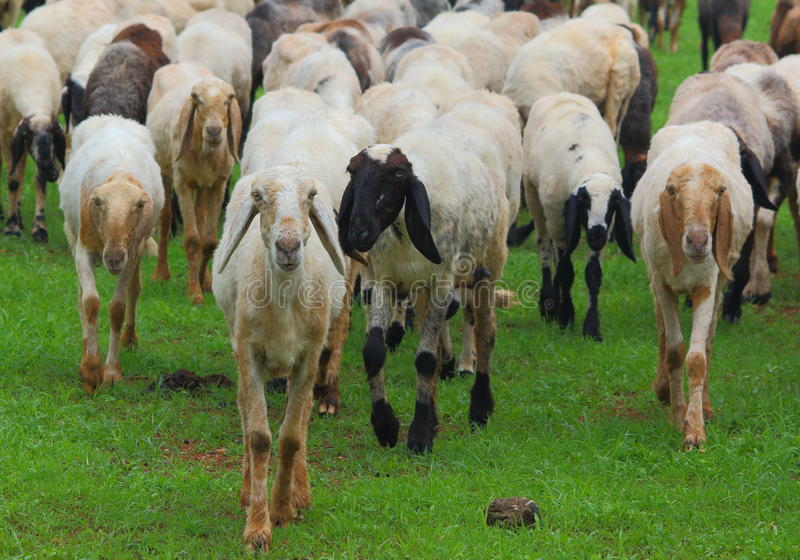 Индийские овцы стоковое фото rf