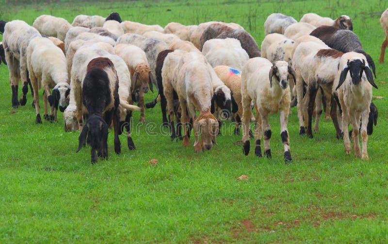 Индийские овцы стоковое изображение rf