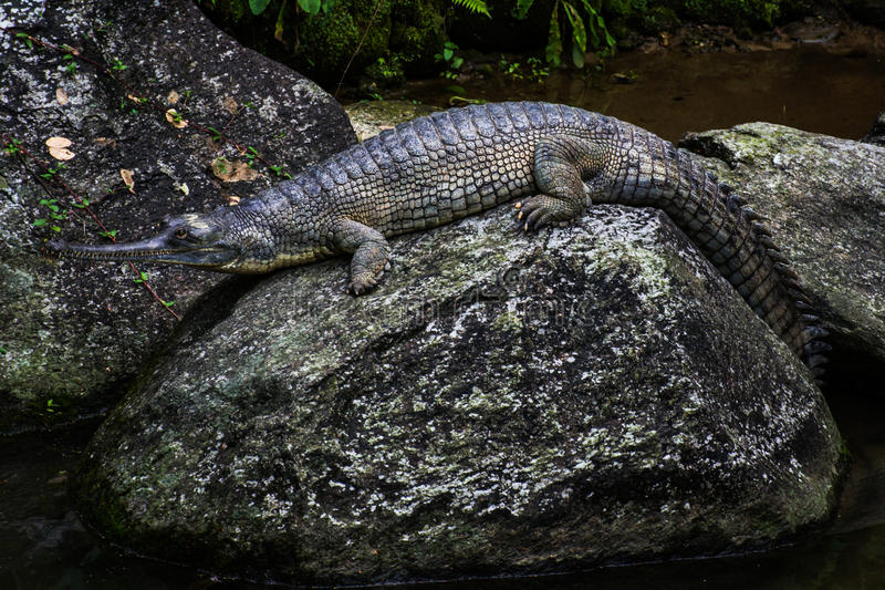 Индийский аллигатор отдыхая на утесе стоковое изображение rf