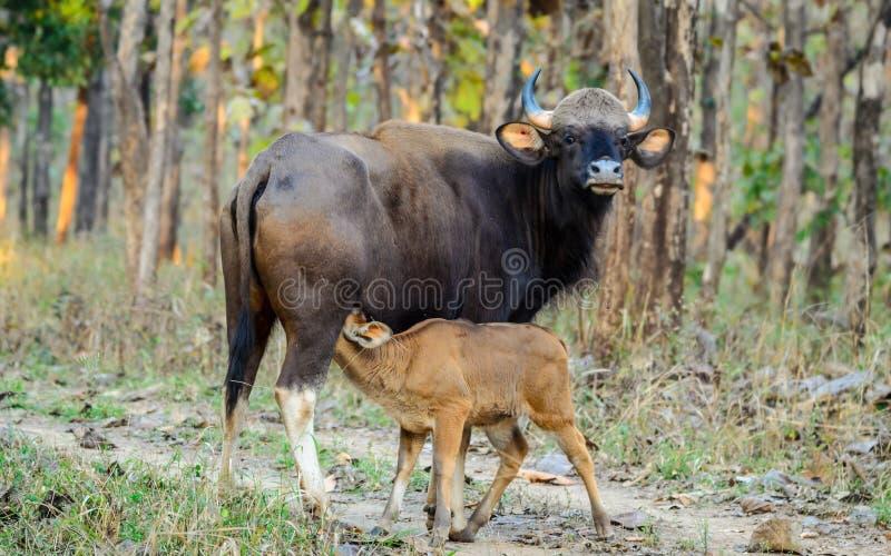 Индийский бизон или Gaur доя ее икру стоковая фотография rf