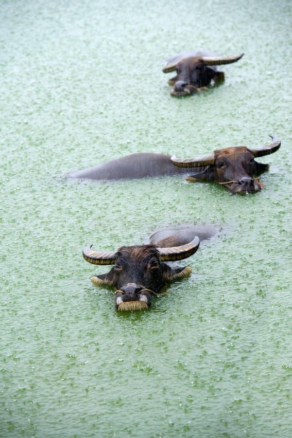 Индийский буйвол в озере стоковое фото rf