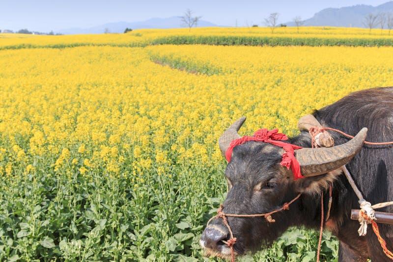 Индийский буйвол в Luoping, Юньнань Китае стоковое фото rf