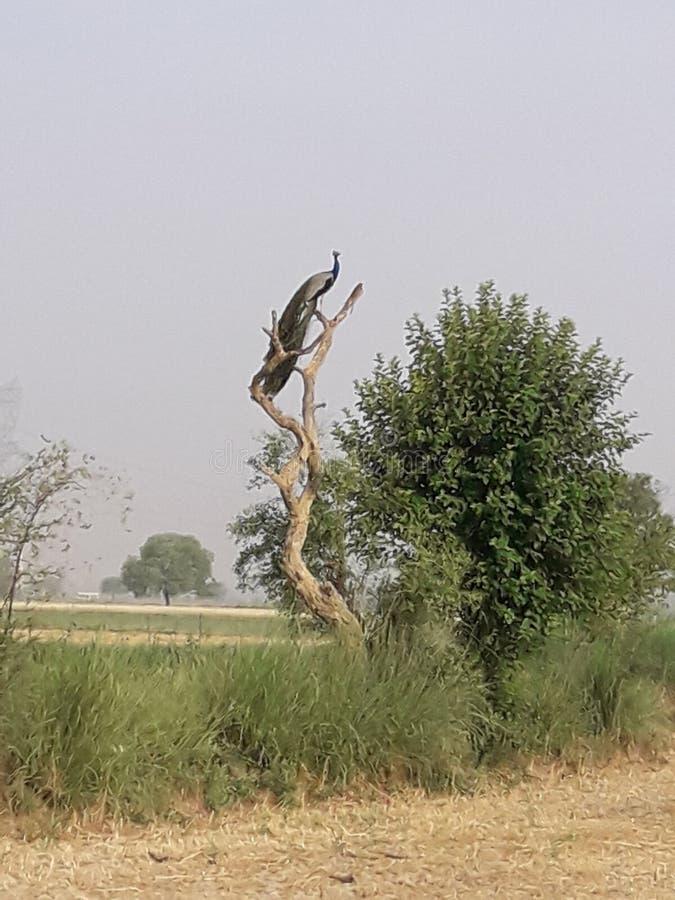 Индийский павлин птицы в мертвом дереве стоковая фотография rf